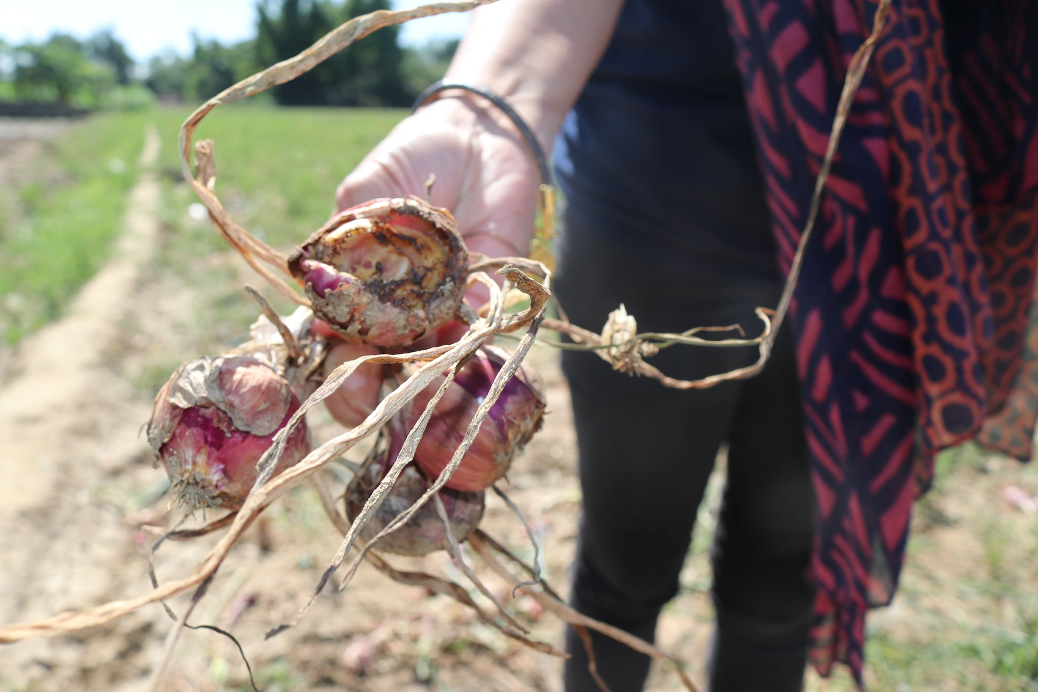 DA Provides Pest Control Interventions to Pest-Affected Onion Farms in Pangasinan